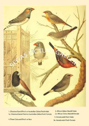 Various Finches & Waxbill
